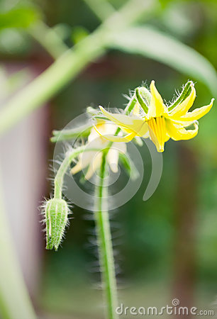 Tomato flowers on the stem