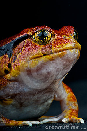 Free Tomato Frog Stock Image - 20849051