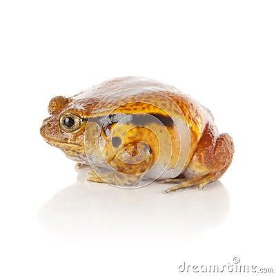 Free Tomato Frog Stock Photos - 24134563
