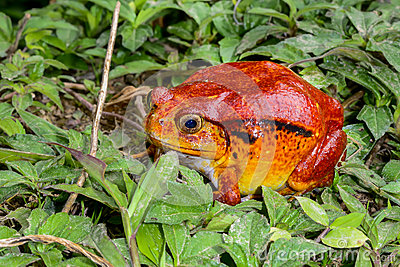 Tomato frog, dyscophus antongilii, marozevo