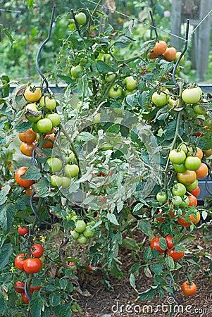 Tomato Garden Harvest