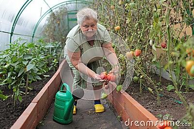 Tomato growing
