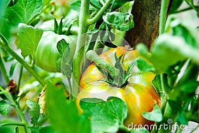 Tomato growth