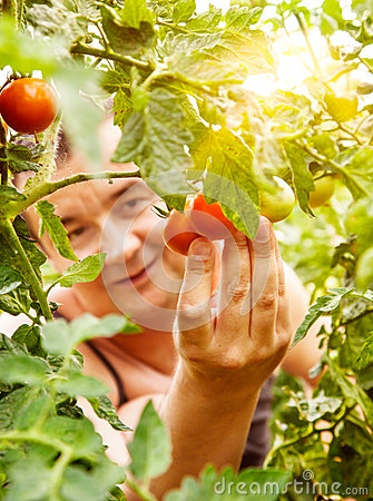 Free Tomato Harvest Royalty Free Stock Photo - 26210385