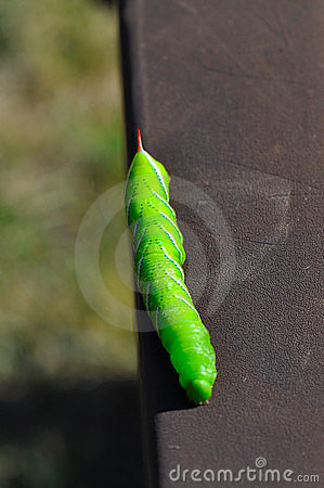 Free Tomato Hornworm Caterpillar  Stock Photography - 16344232