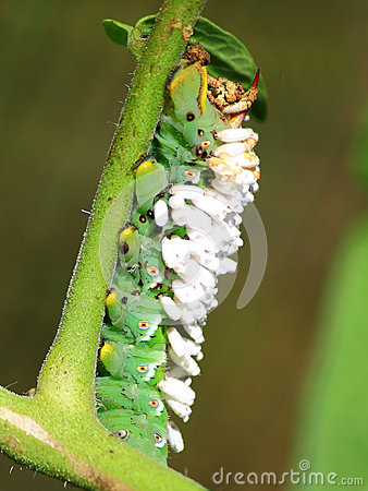 Free Tomato Hornworm Wasp Cocoon Stock Photography - 44283722
