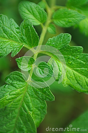 Tomato leaves