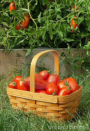 Free Tomato Picking Royalty Free Stock Photography - 244407