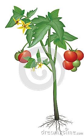 Free Tomato Plant Stock Photography - 1021772