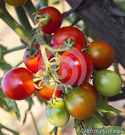 Free Tomato Plant Closeup Stock Photos - 44245863