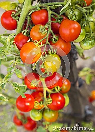 Free Tomato Plant Closeup Stock Images - 44245894