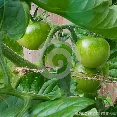 Tomato Plant Stock Photo Image 44907451