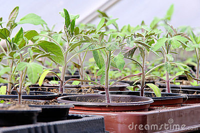 Tomato plant in glass house