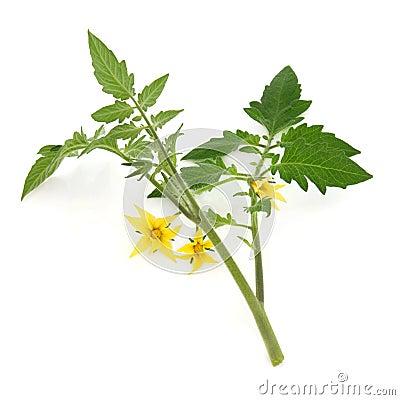Tomato Plant Leaf Sprig