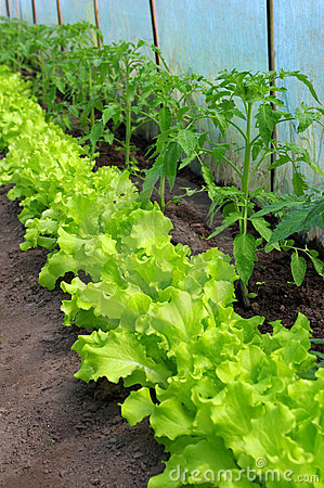 Tomato plant and lettuce seedlings