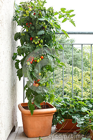 Free Tomato Plant Pot Balcony Strawberry Royalty Free Stock Photo - 67314905