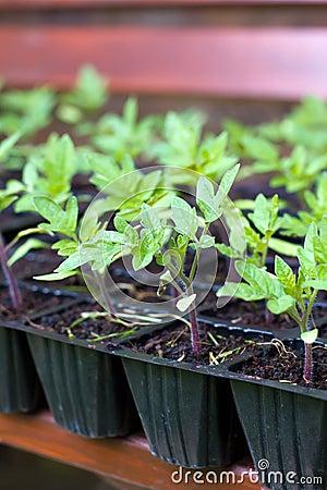 Free Tomato Plants Stock Photos - 25410223