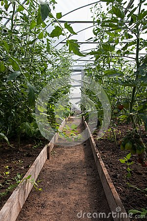 Tomato plants in greenhouse