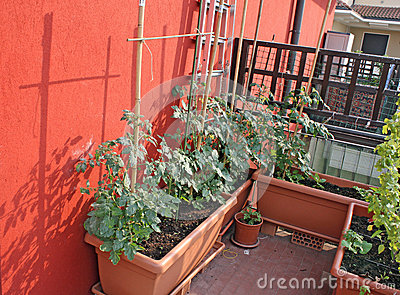 Tomato plants grown in a balcony