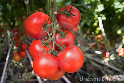Tomato production
