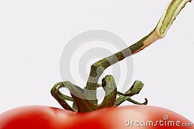 Tomatoe Vine