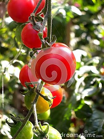 Tomatoes 10
