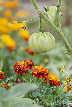 Free Tomatoes And Marigolds (companion Planting) Royalty Free Stock Photos - 21080348
