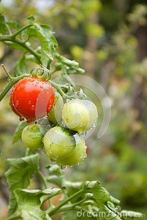Tomatoes covered with drops