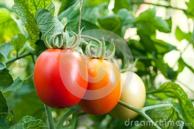 Tomatoes grow on twigs