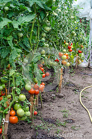 Tomatoes plants in the greenhouse
