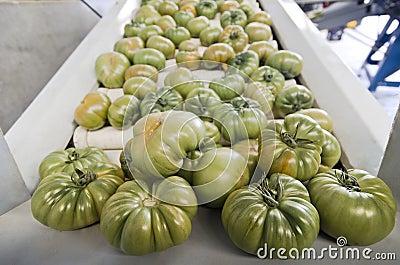 Tomatoes raf