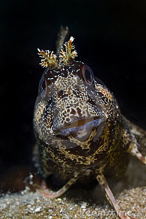Tompot blenny staring at you