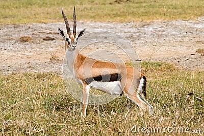 Tompson s gazelle