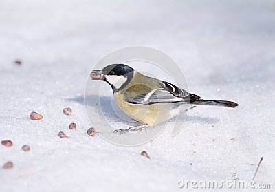 Tomtit with a pine nut