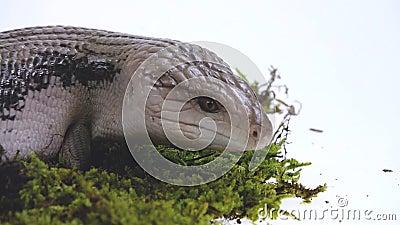 Tongue blu orientale Lizard - Tiliqua scincoides isolati su bianco Chiudi Movimento lento video d archivio