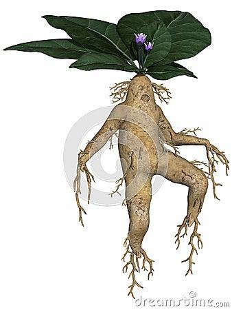 Toon root tuber