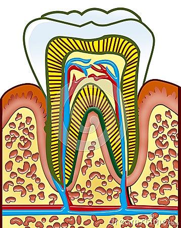 Free Tooth Stock Photo - 11072880