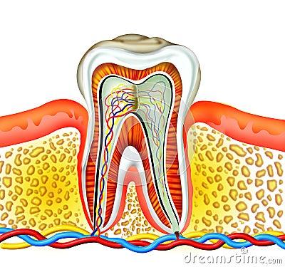 Free Tooth Stock Photos - 5632473