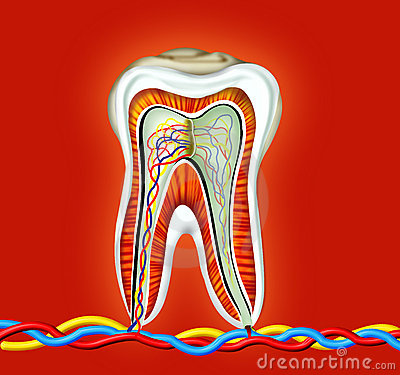 Free Tooth Royalty Free Stock Photography - 5632597