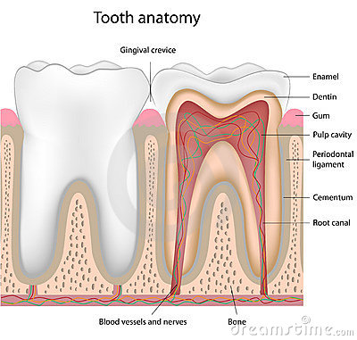Tooth Anatomy, Eps8 Royalty Free Stock Photography - Image: 19180197