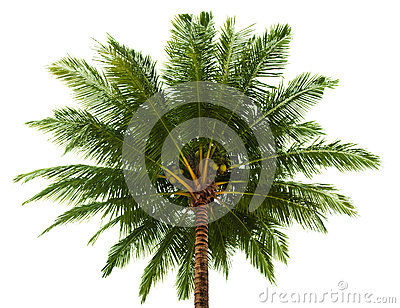 Top of the coconut palm isolated on white