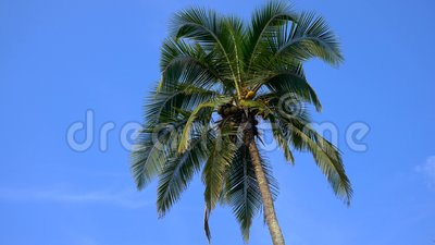 Top of coconut palm tree with blue sky background.  stock footage