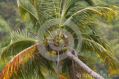 The top of a coconut palm tree