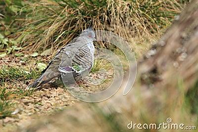 Top notch pigeon