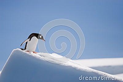 Top penguin