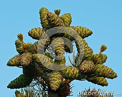 Top Pine Cones