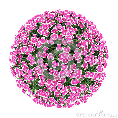 Top view of alpine pink flowers isolated on white