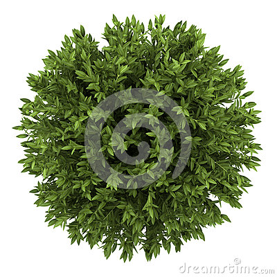 Top view of bay laurel bush isolated on white