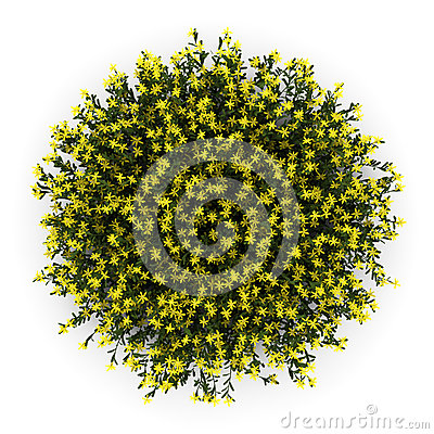 Top view of broom flowers isolated on white