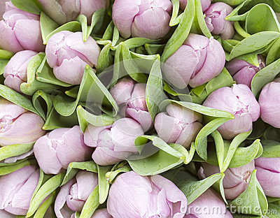 Bunch of pale pnk tulips